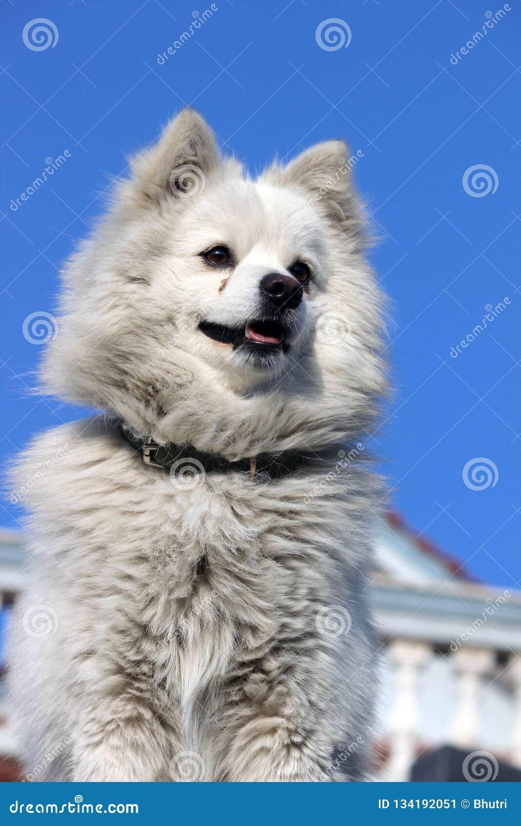A white dog safe guarding a house.