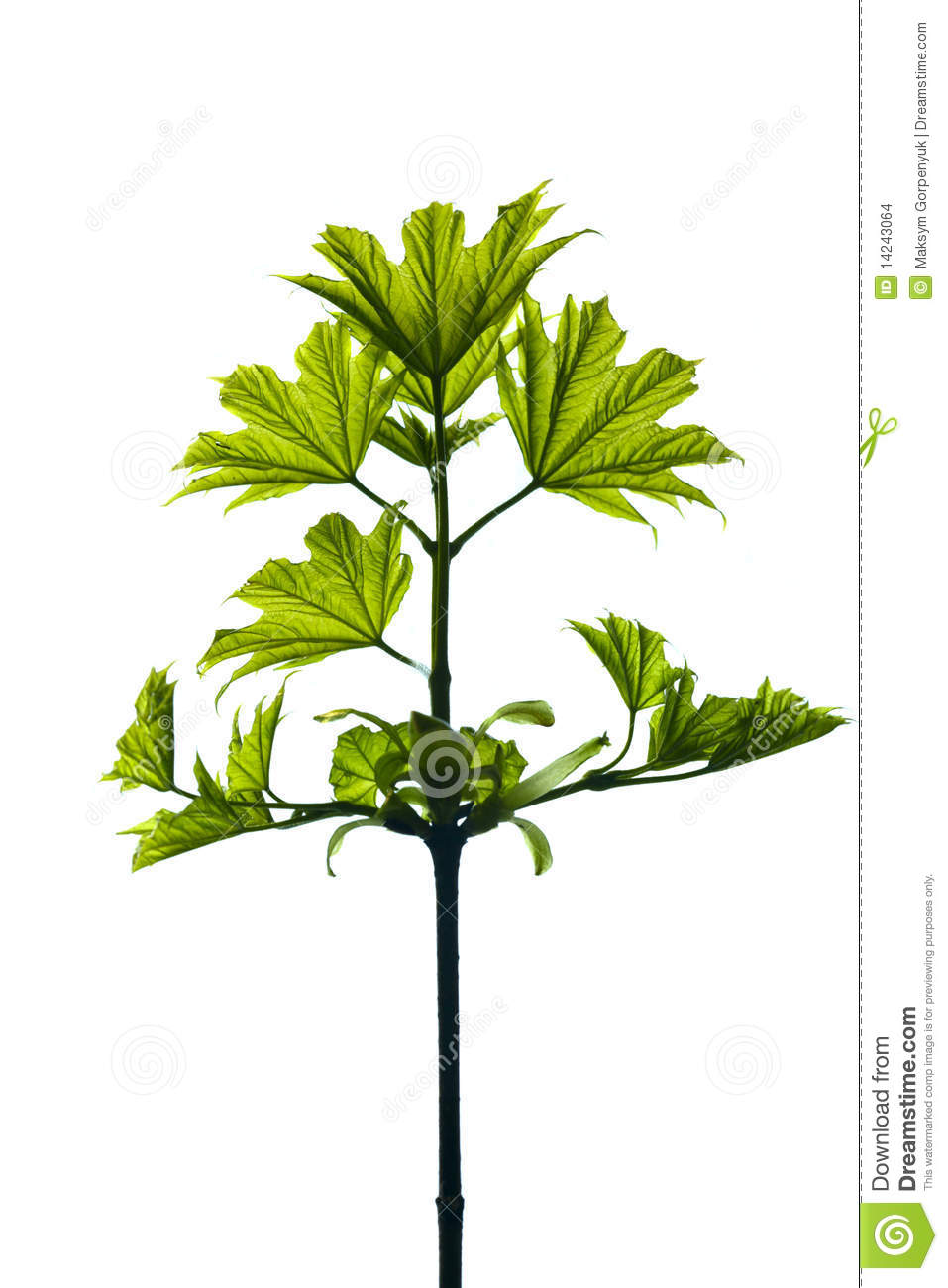 Small Maple Leaf Stock Images Image 14243064