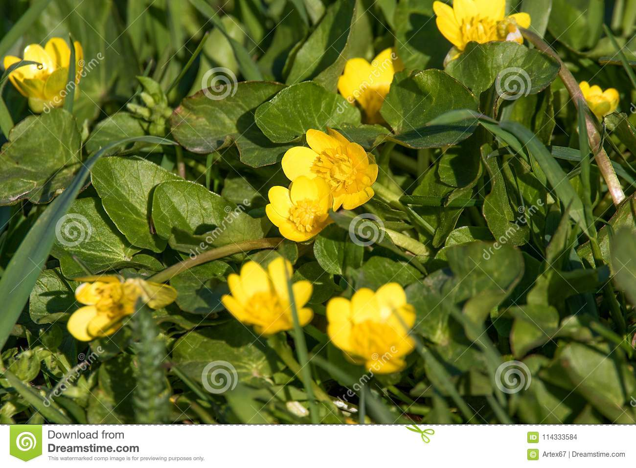 Small Meadow Yellow Flowers In A Green Grass Stock Photo Image Of
