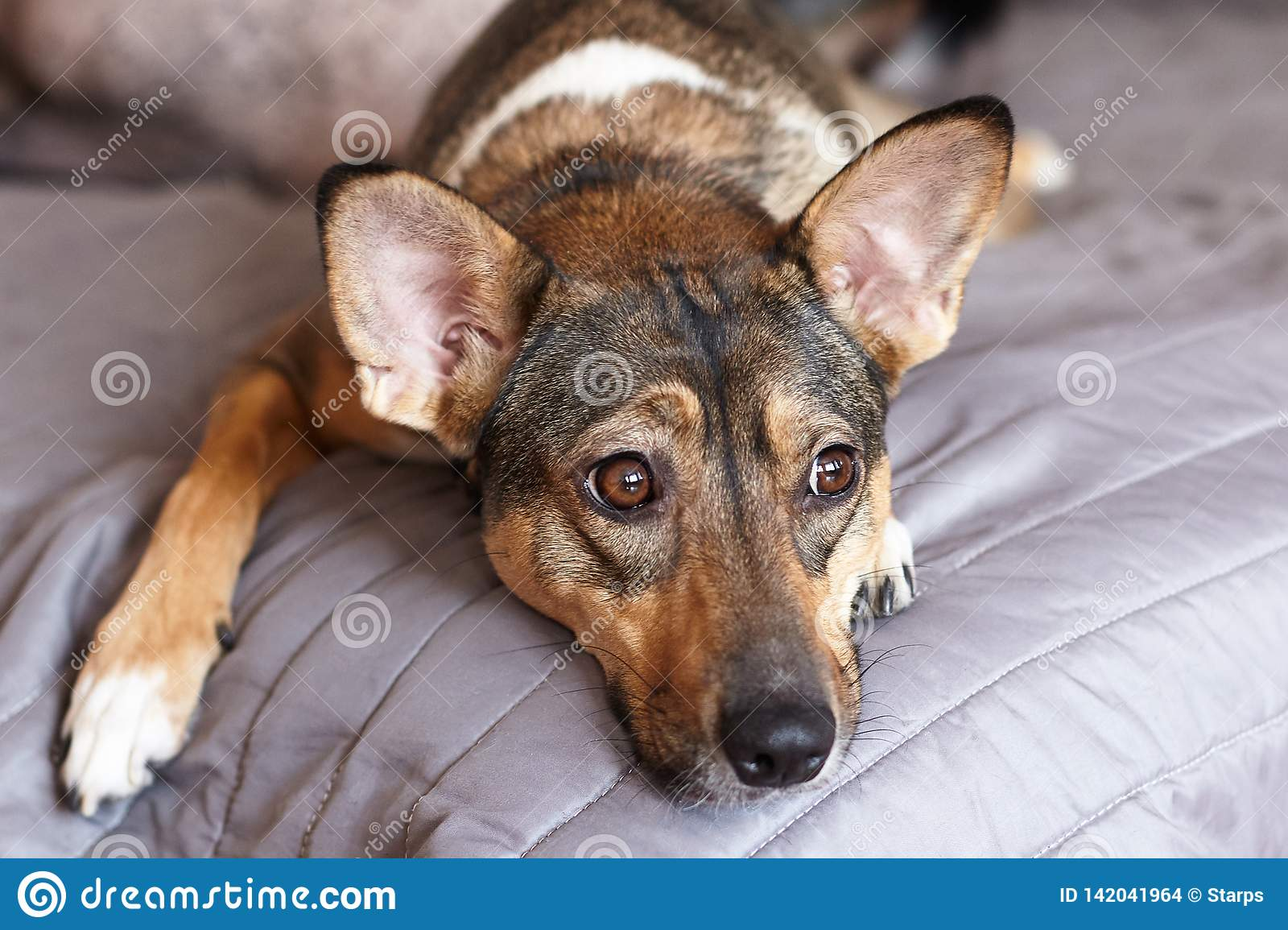 Small melancholy brown adopted dog mongrel with smart look lays on the grey cover at home and waits for owner. Dog in the bed.