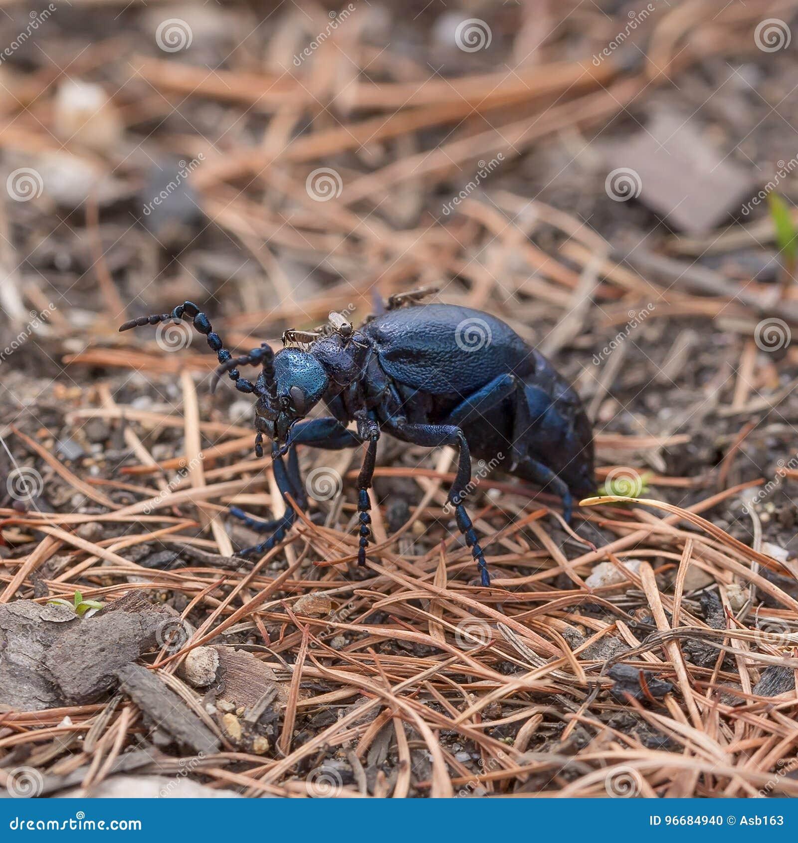 Small Midges Bite Blue Beetle Stock Photo - Image of