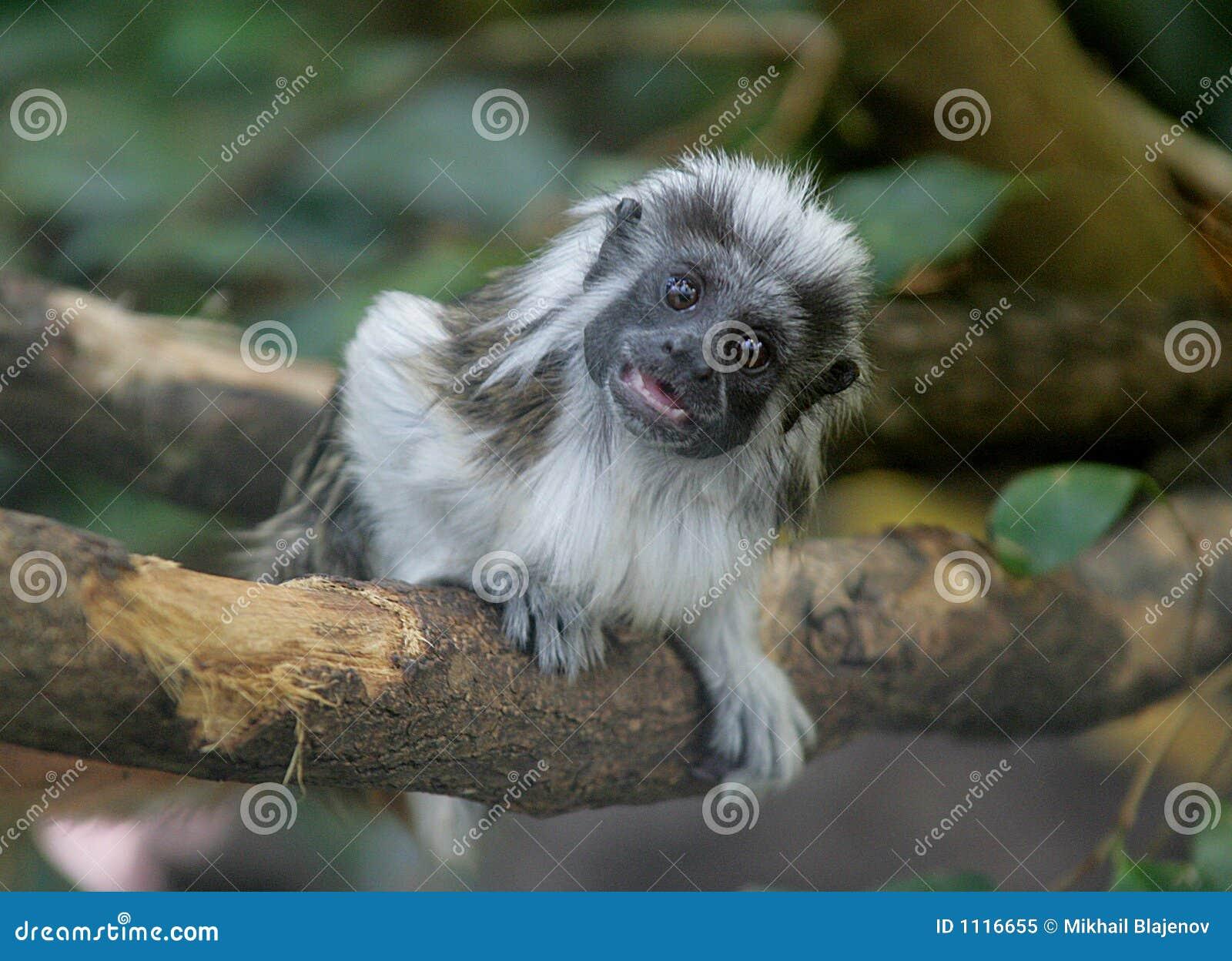 small monkey 2 royalty free stock photo image 1116655