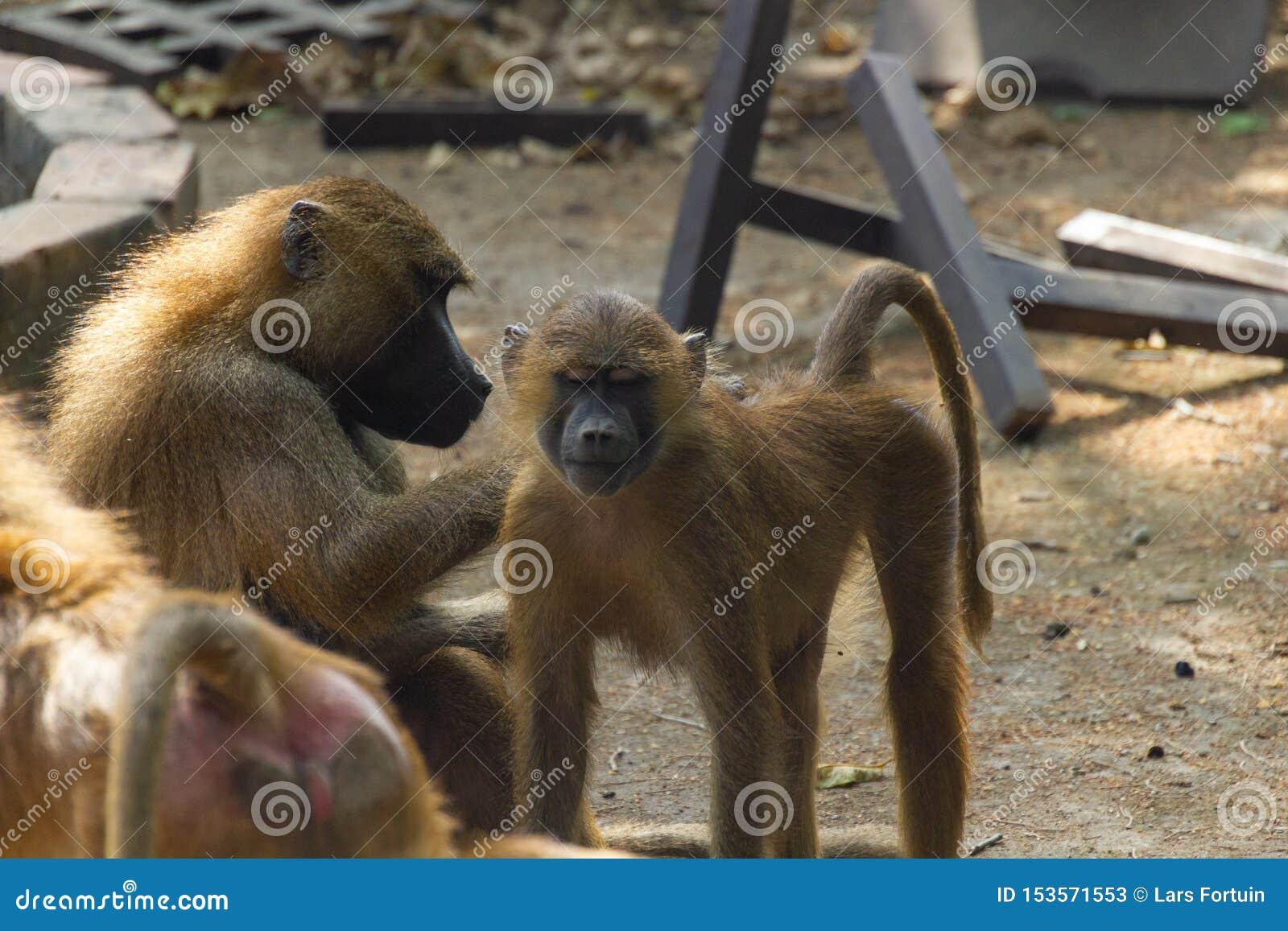 Small monkey is getting flea picked