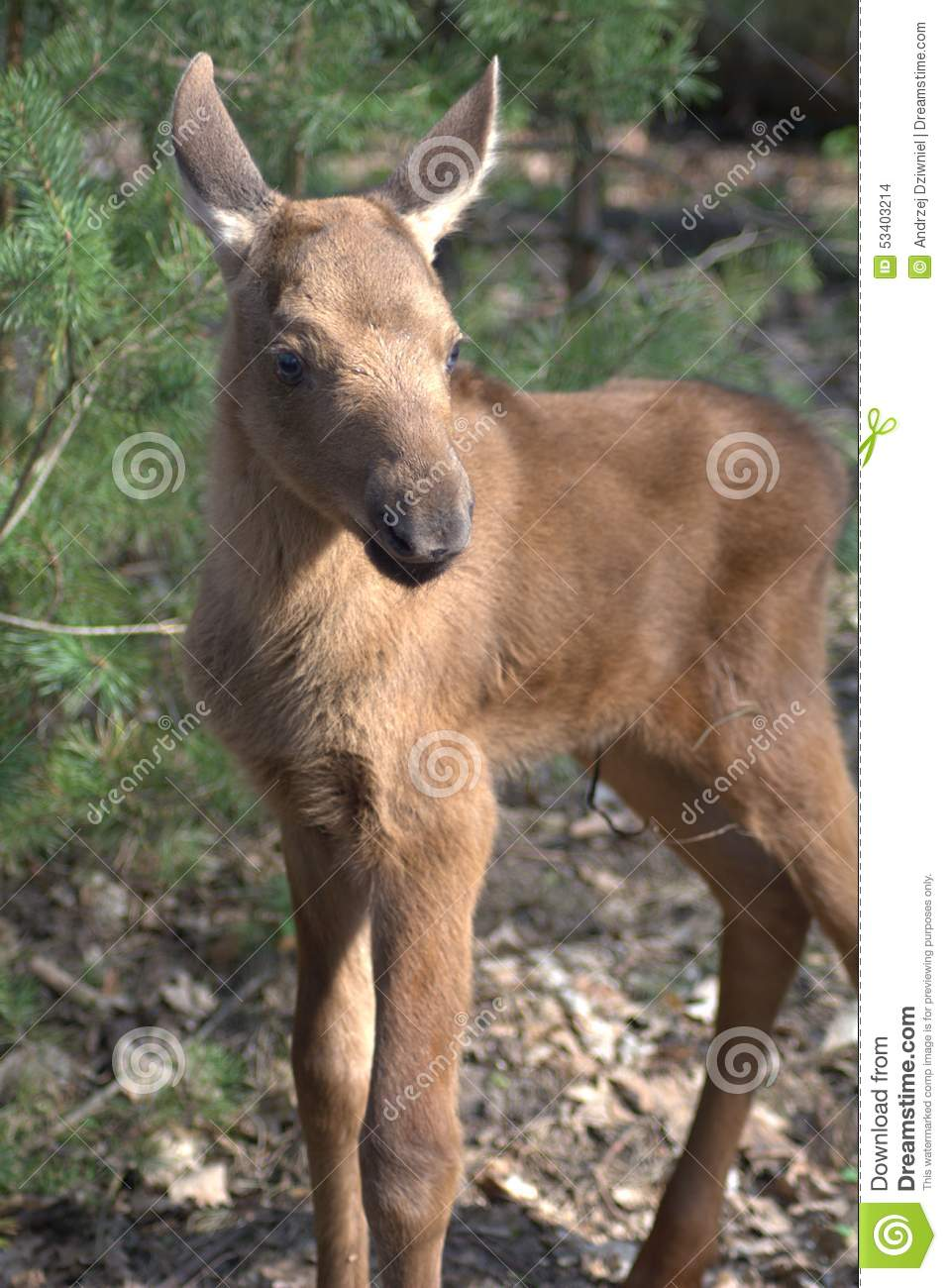 Small Moose Stock Photo Image Of Standing Tree Small