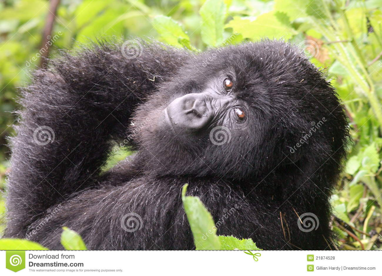 Small Mountain Gorilla