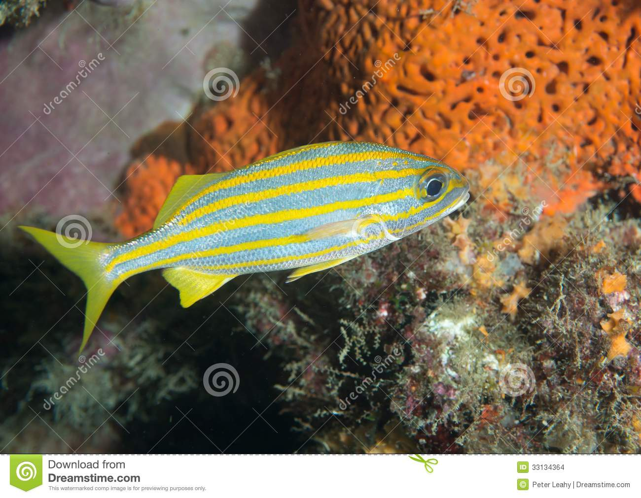 Small mouth grunt fish on a reef stock images image for Types of small fish