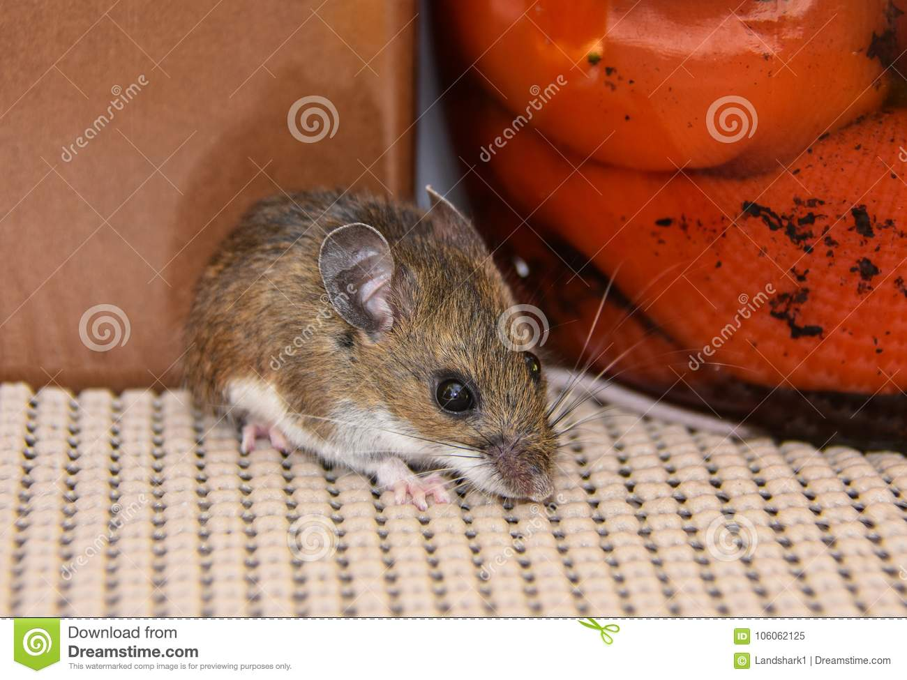 Close Up View Of A Wild Gray House Mouse In A Kitchen ...