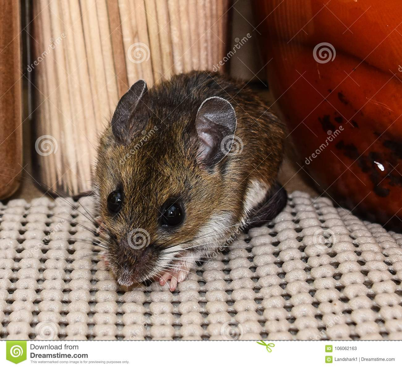 Close Up Face View Of A Wild Gray House Mouse, Mus Musculus, In A ...