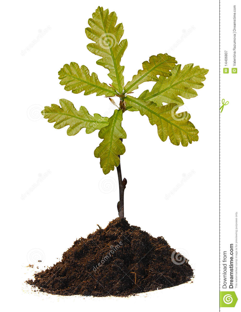 Small Oak Tree Royalty Free Stock Photography - Image ...
