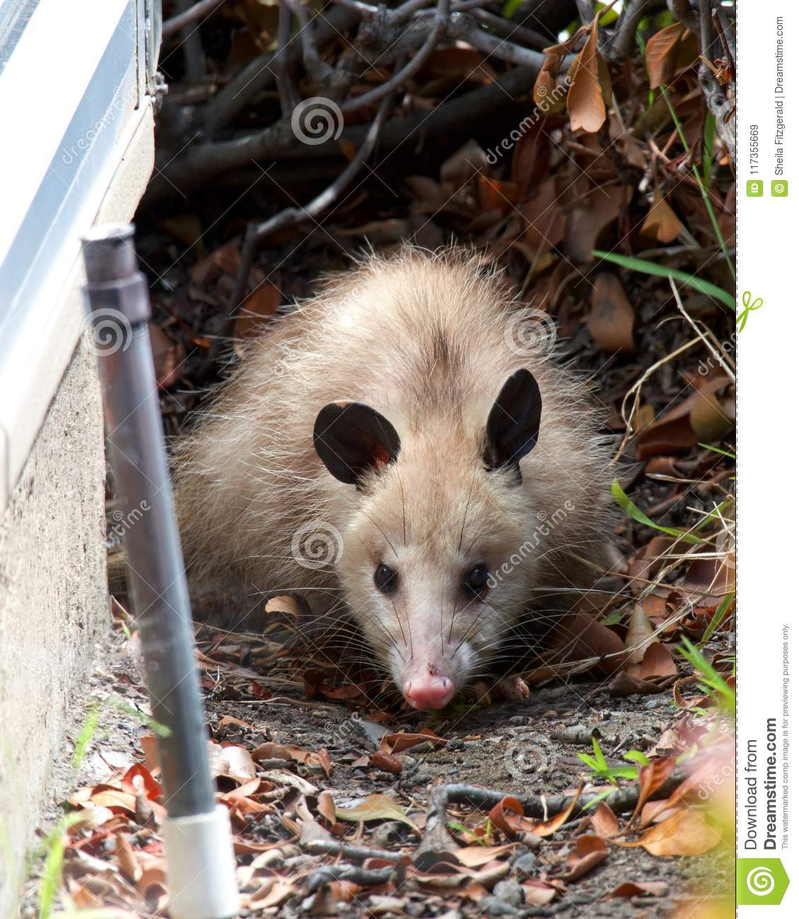 Young Possum Next To A House Sprinkler In Foreground Stock