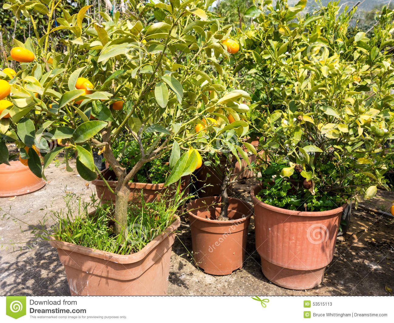 Small orange trees in pant nursery stock photo image for Fruit trees for sale