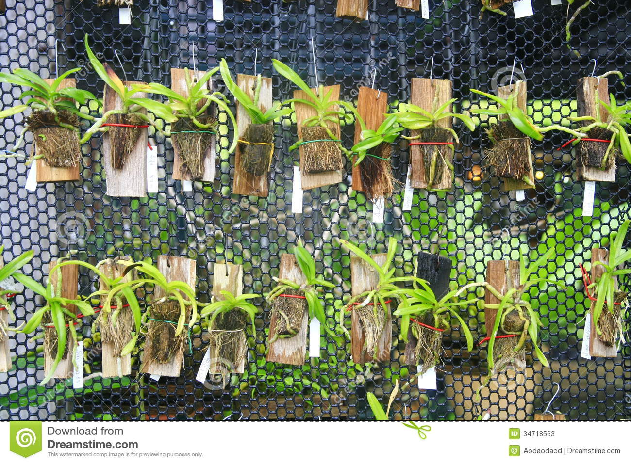 Small Orchids Hang On Net Stock Image Image Of Hawaii