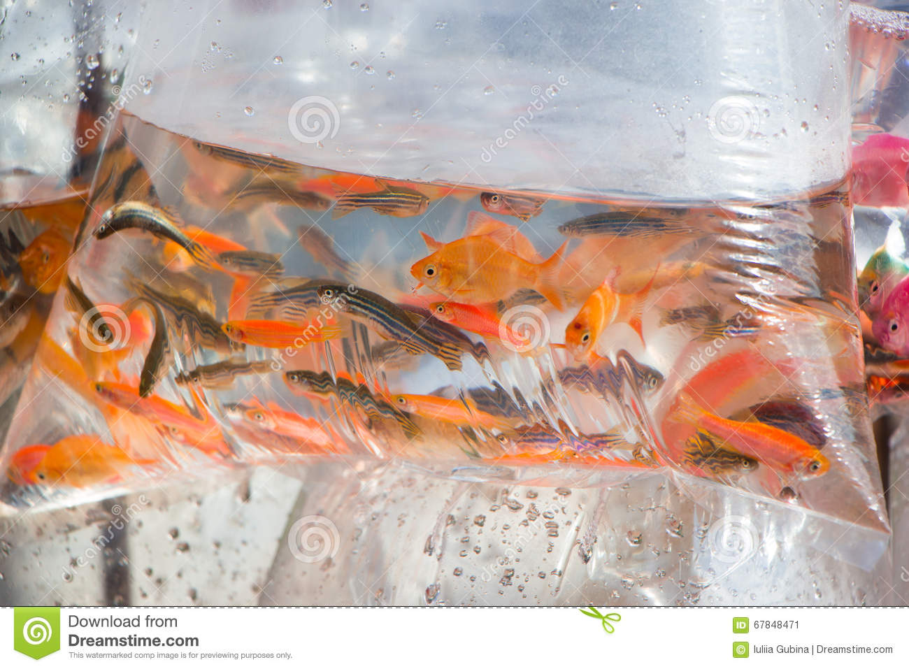 Small ornamental fish in a plastic bag stock photo image for Ornamental pond fish for sale