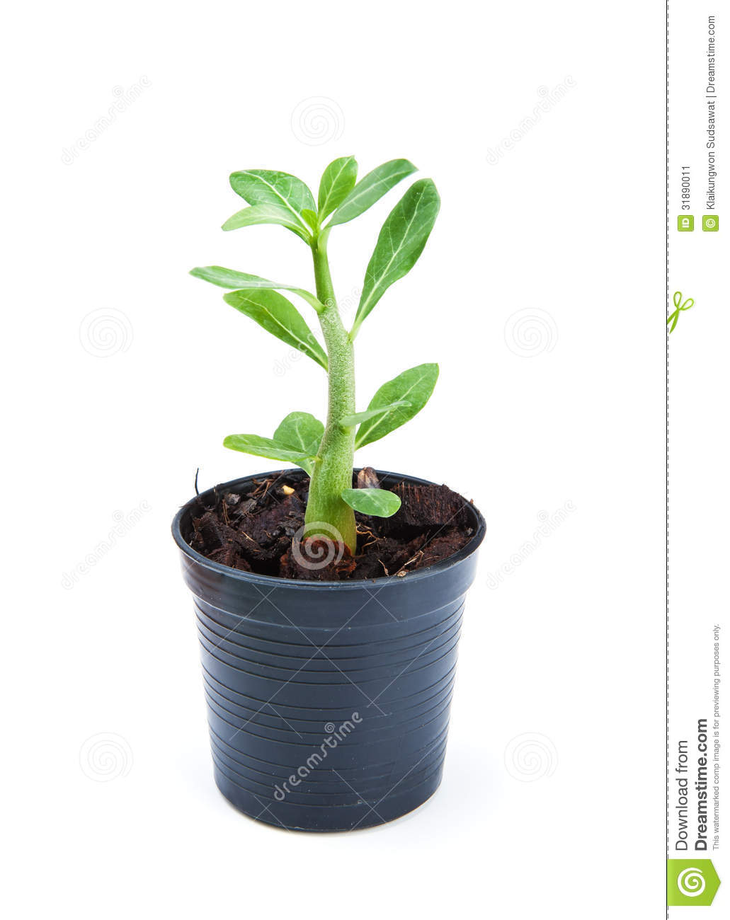 small ornamental plants sprout in flowerpot on white small plant royalty free stock images image 4963929