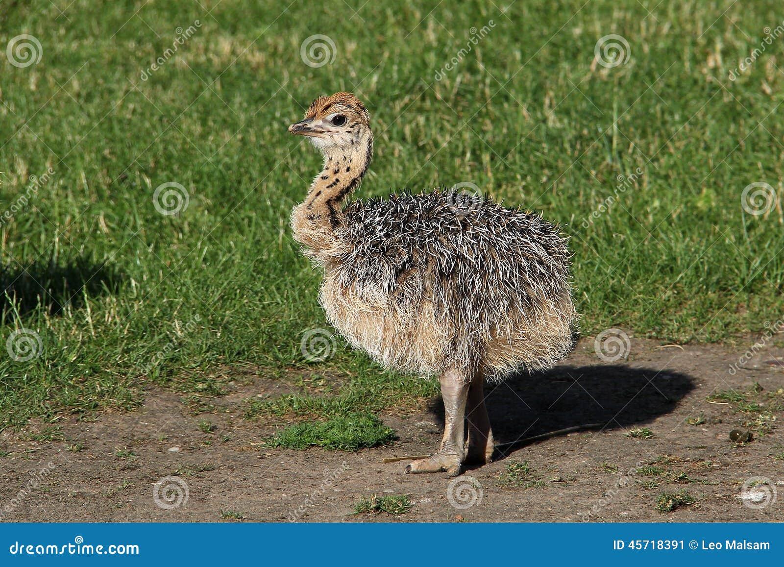 Small ostrich