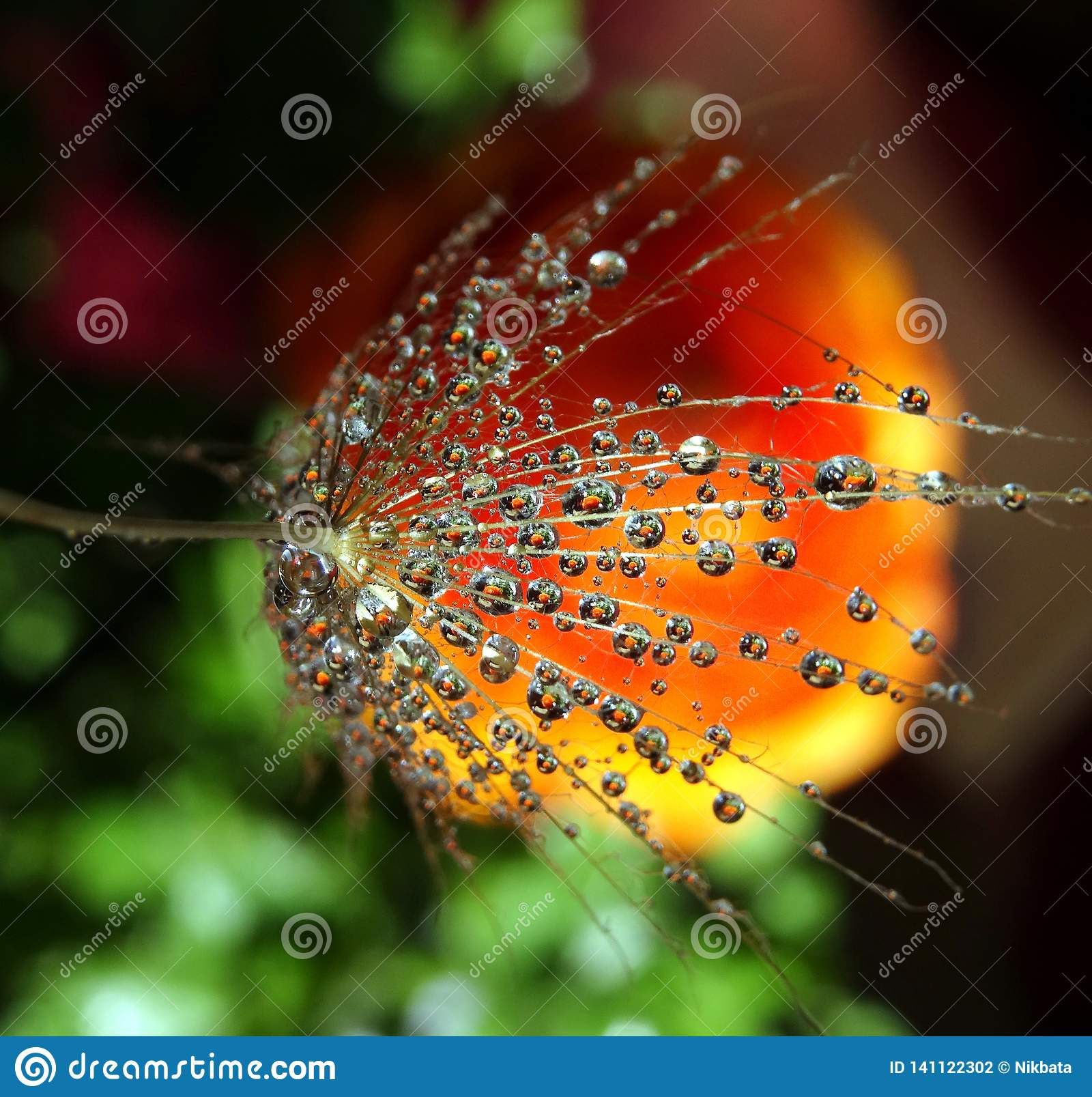 Part of the dandelion seed with water drops on a colorful background