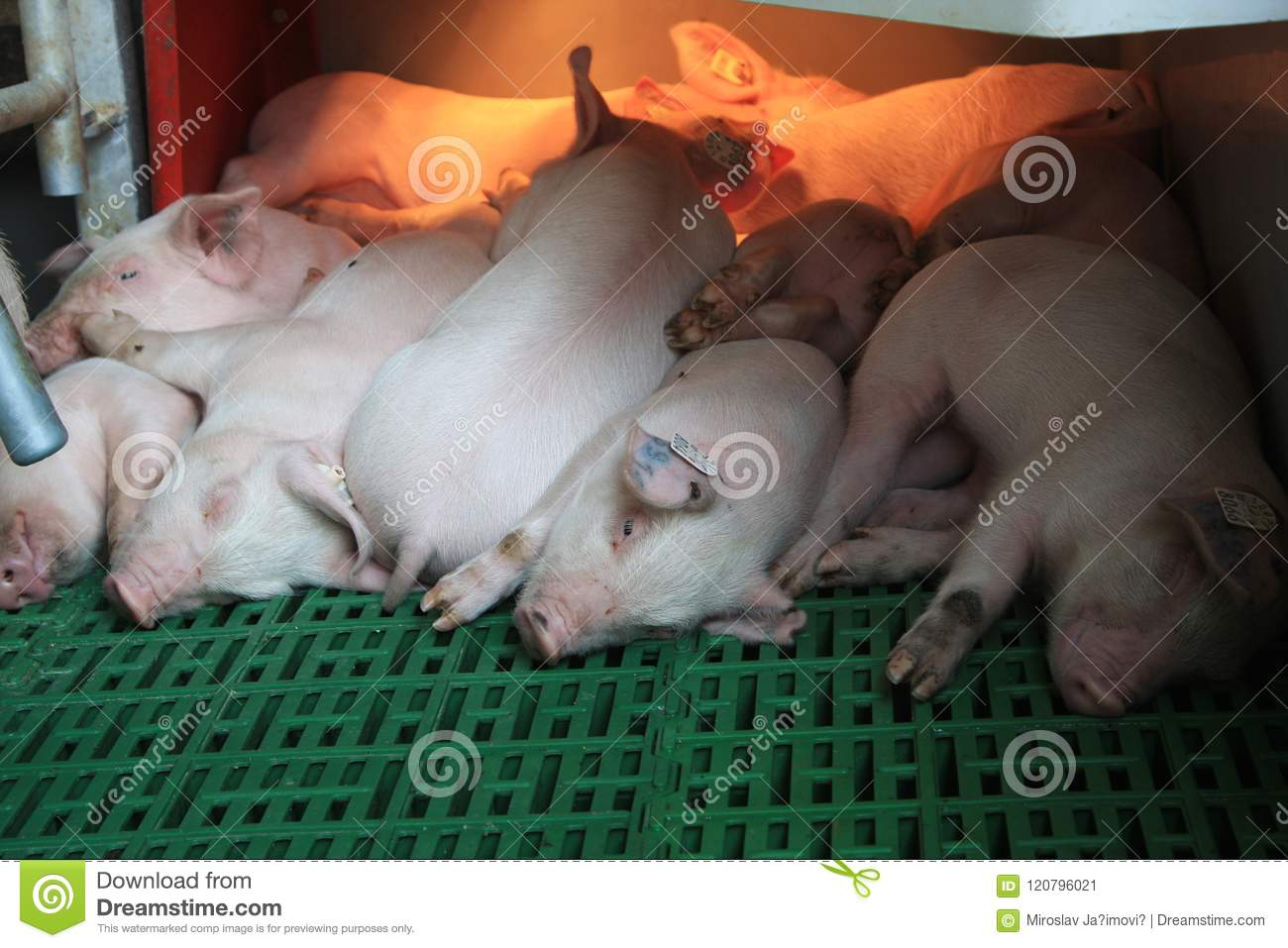 A Small Piglet In The Farm  Group Of Mammal Waiting Feed