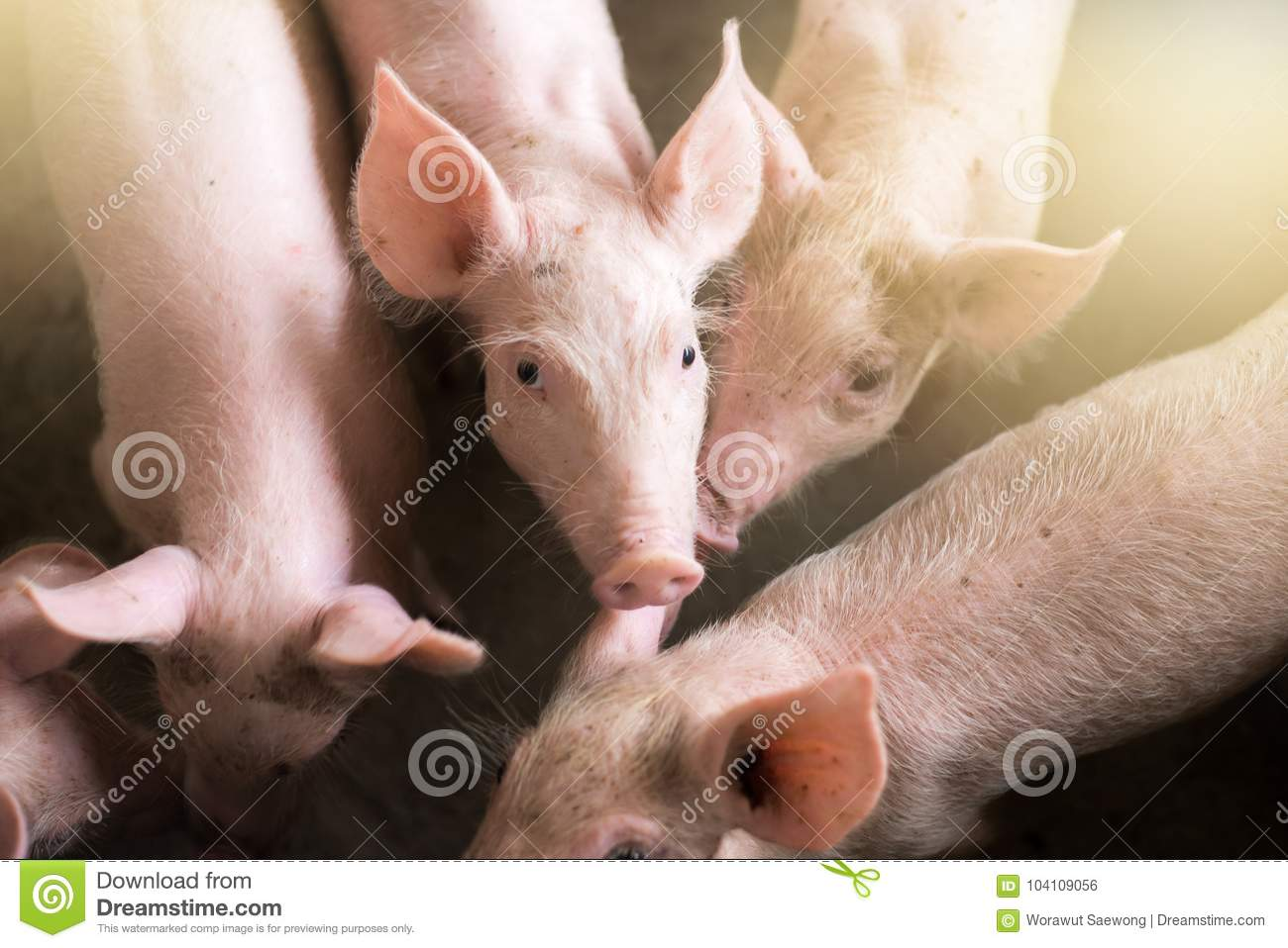 Small pigs at the farm,swine in the stall
