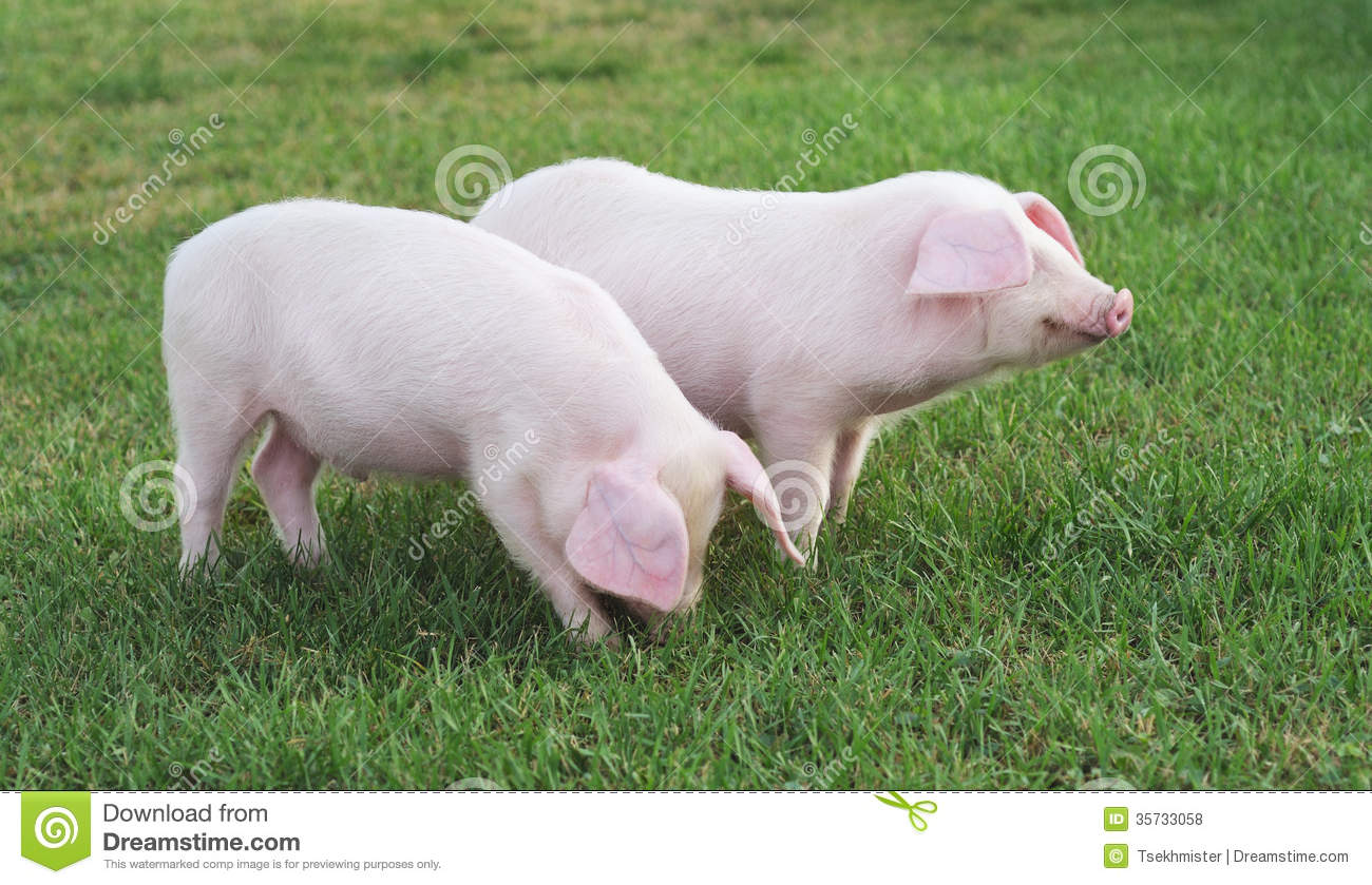 Small Pigs Royalty Free Stock Photos - Image: 35733058