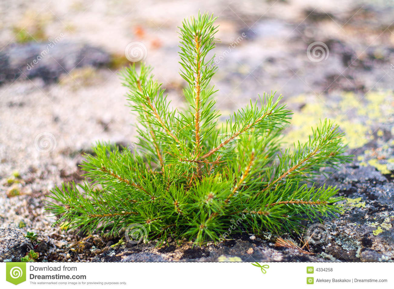 Small pine tree royalty free stock photos image 4334258 for Small slender trees