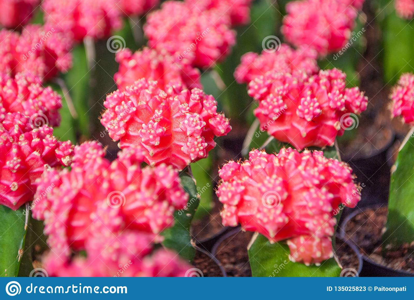 Small pink cactus selective focus in flowerpot houseplant