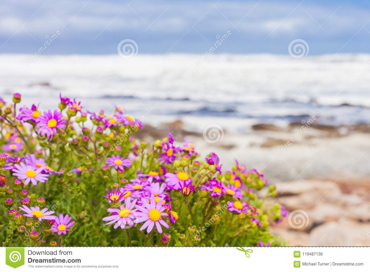 Small Pink Coastal Flowers On The Atlantic Sea Shore Stock Photo