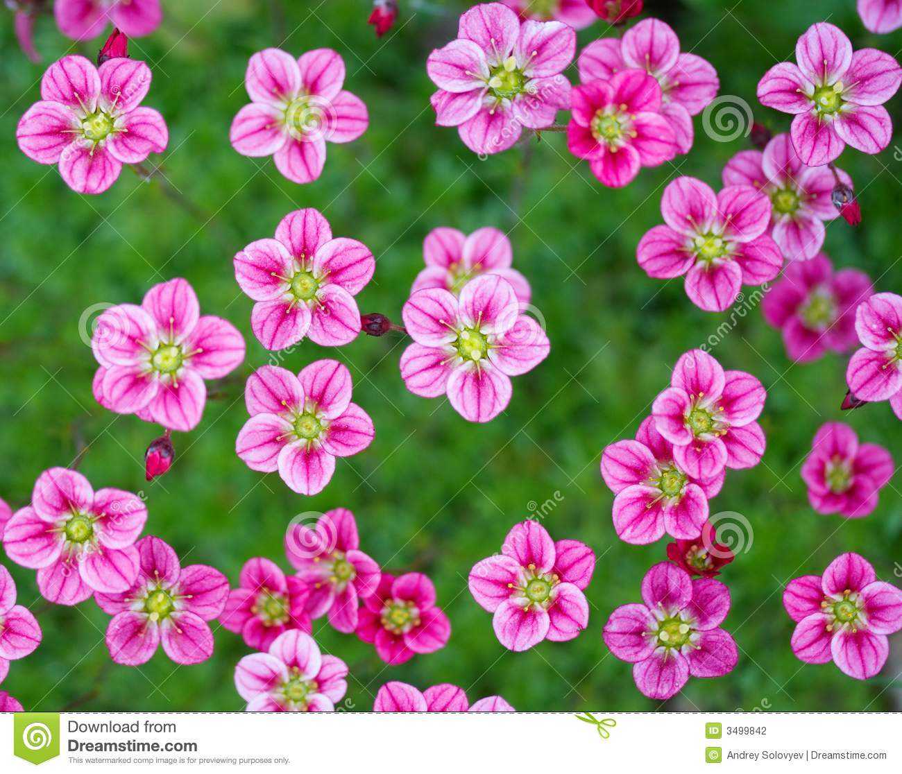 Small Pink Flowers Stock graphy Image