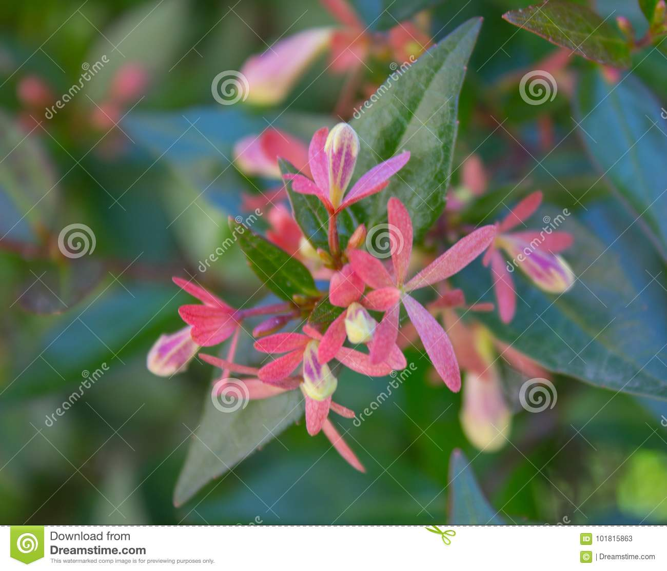 Bright Beautiful Plant With Small Pink Flowers Stock Image Image