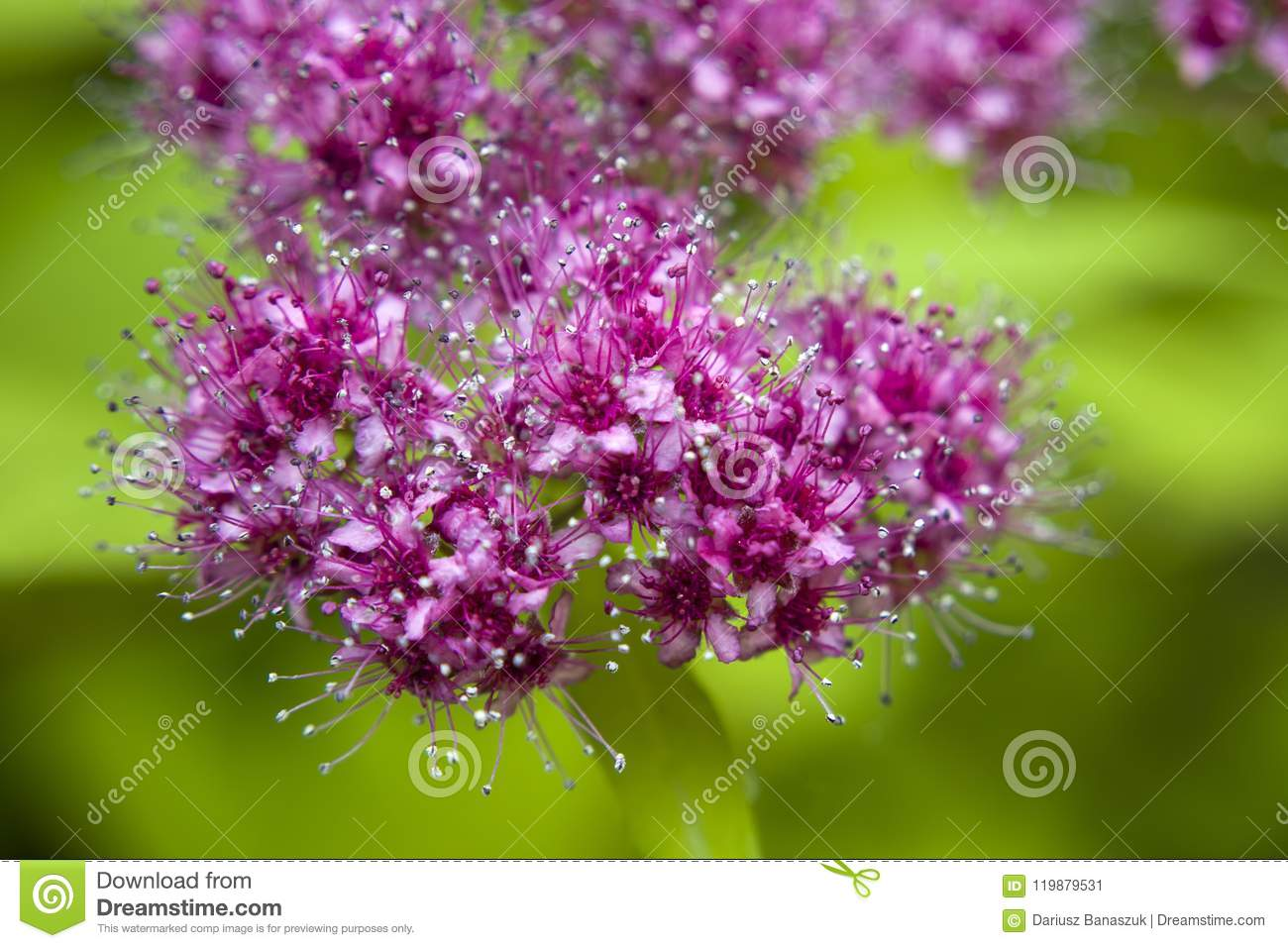 Small Pink Flowers Of A Decorative Bush Stock Image Image Of Petal