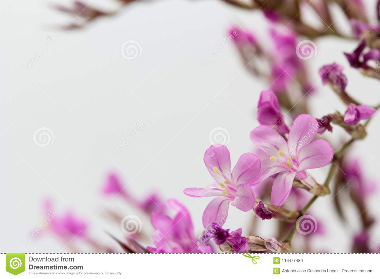 Small Pink Flowers Of Limonium Stock Image Image Of Perennial