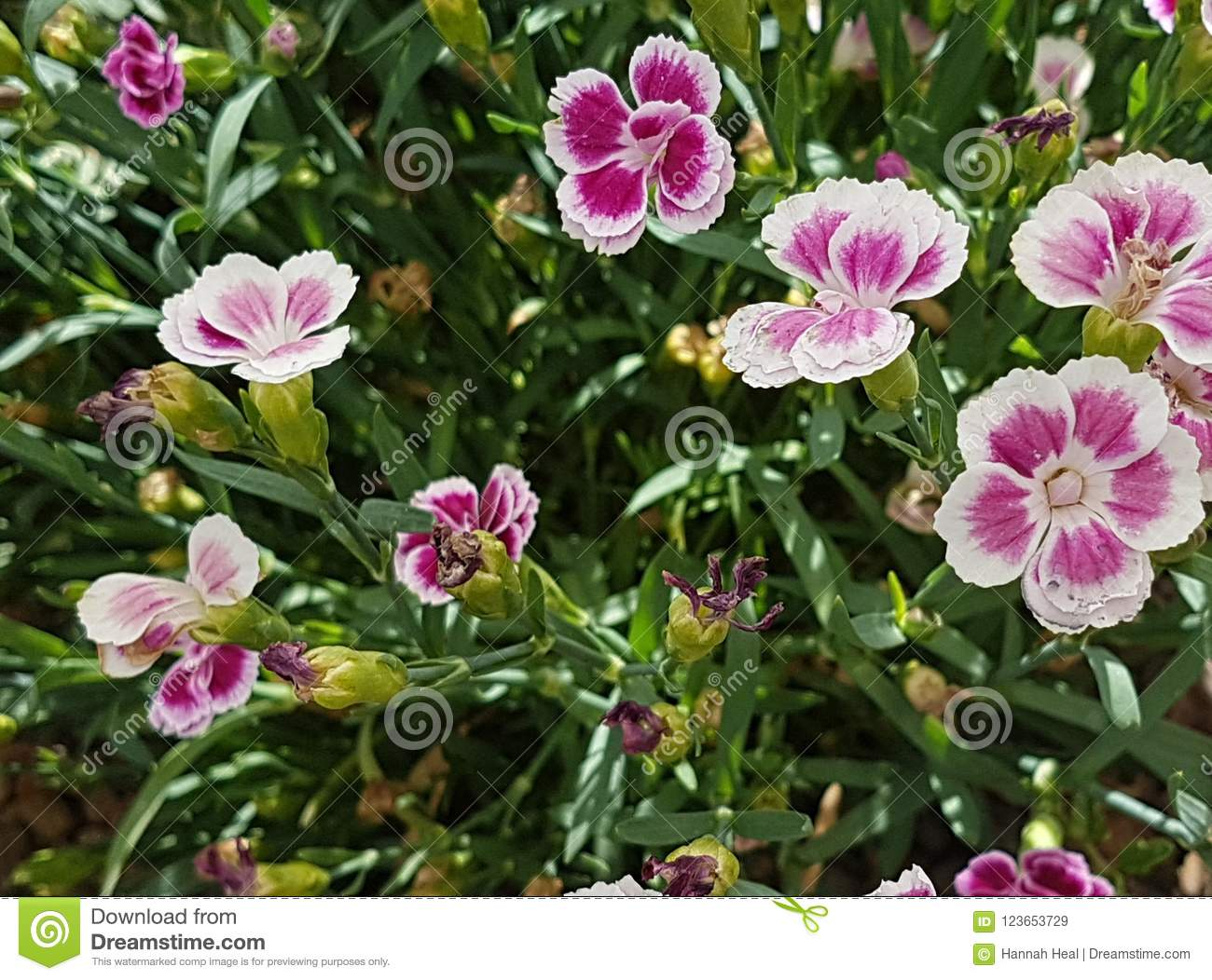 Small Pink White Edges 5 Petal Flowers Stock Image Image Of Long
