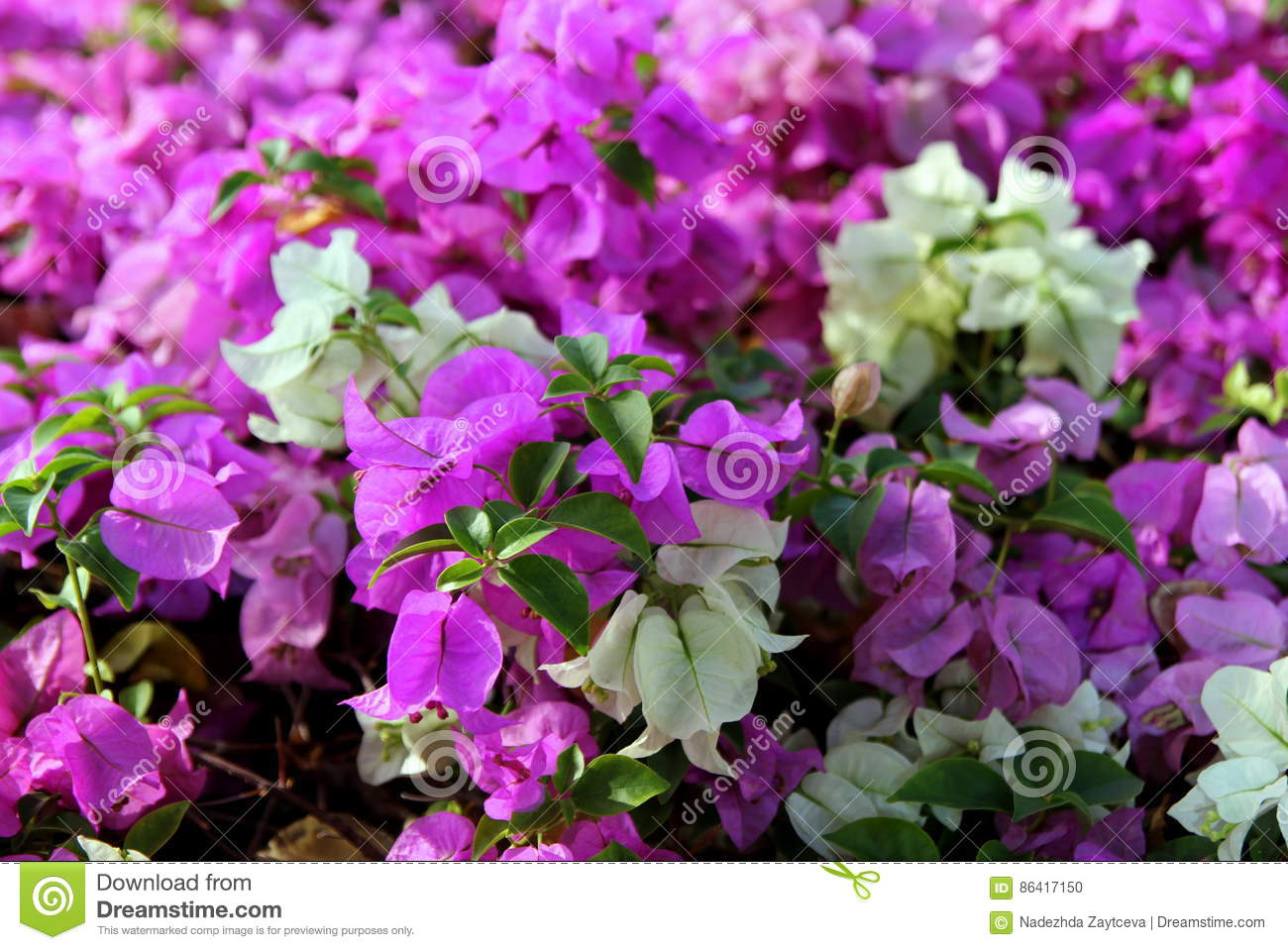 The small pink and white flowers bougainvillea in a park stock download the small pink and white flowers bougainvillea in a park stock photo image mightylinksfo