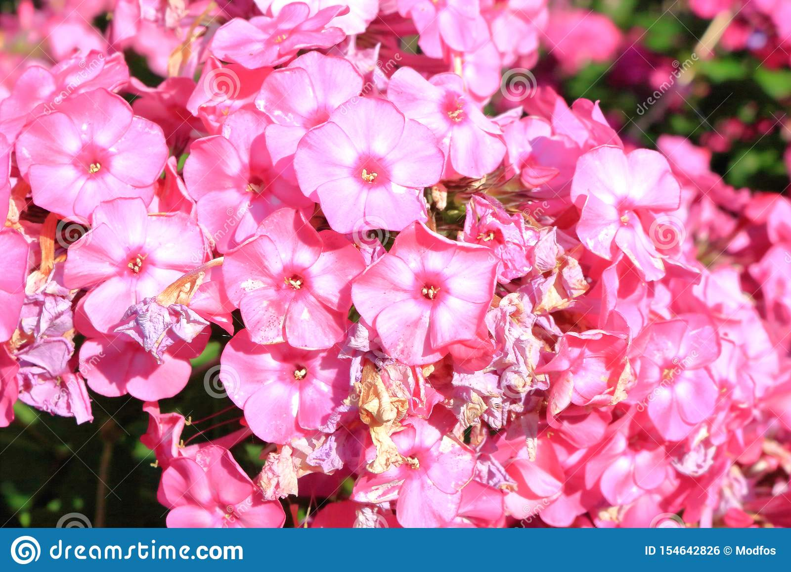 Small Pink And White Perennials Stock Photo Image Of Flora