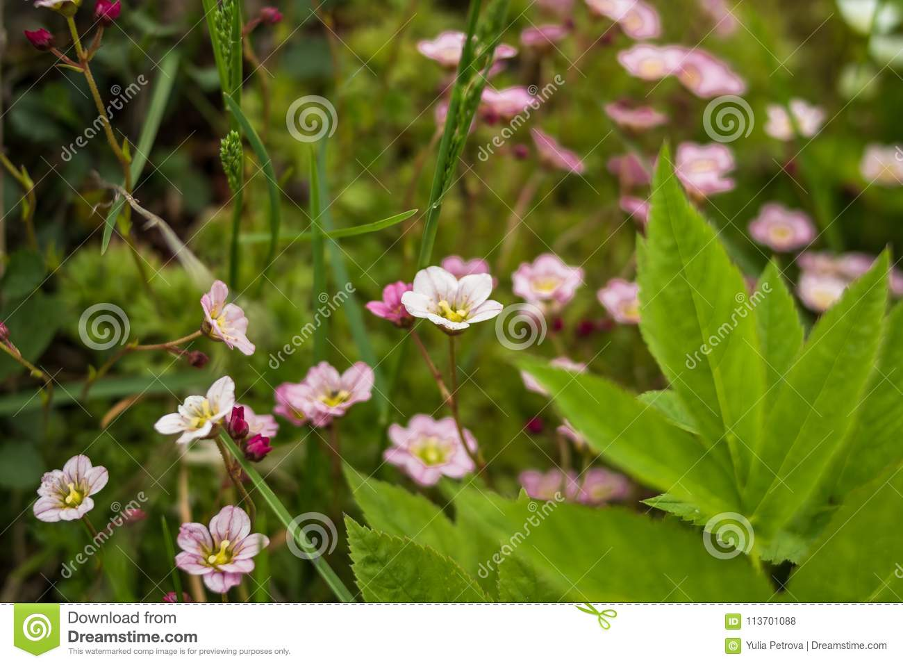 Small Pink White Spring Flowers With Leaves In Green Grass Spring