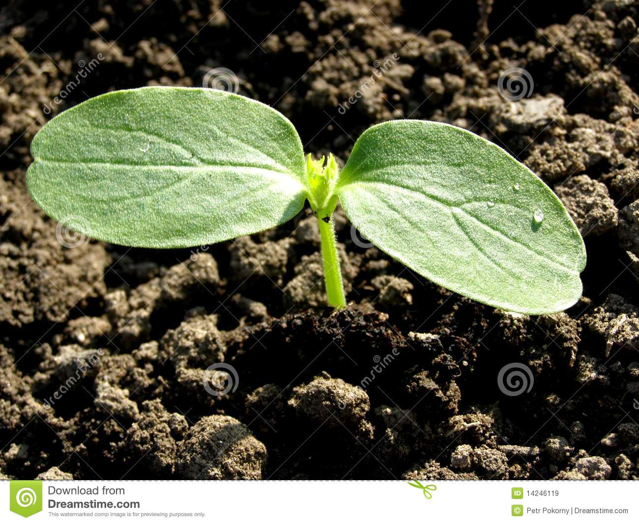 Small Plant Cucumber Royalty Free Stock Images Image
