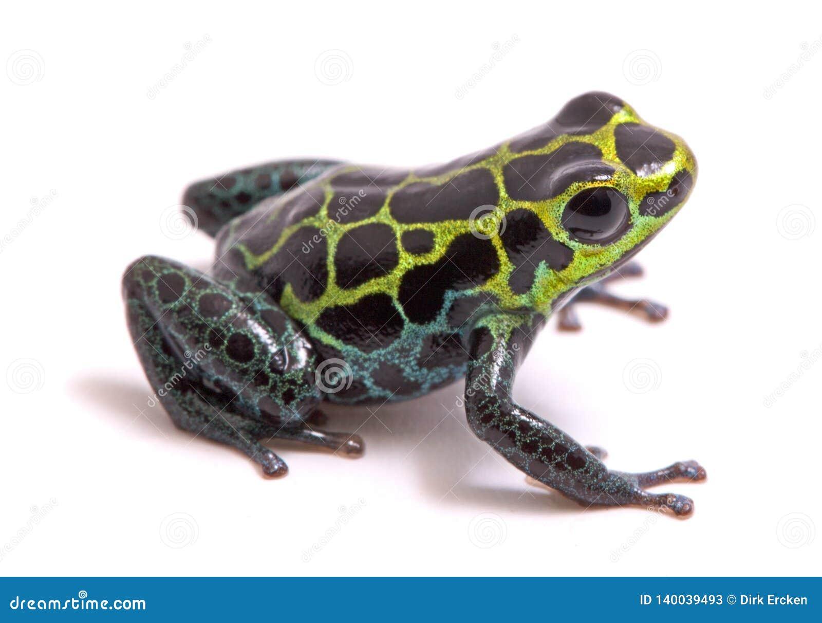 Small poison dart or arrow frog, Ranitomeya variabilis