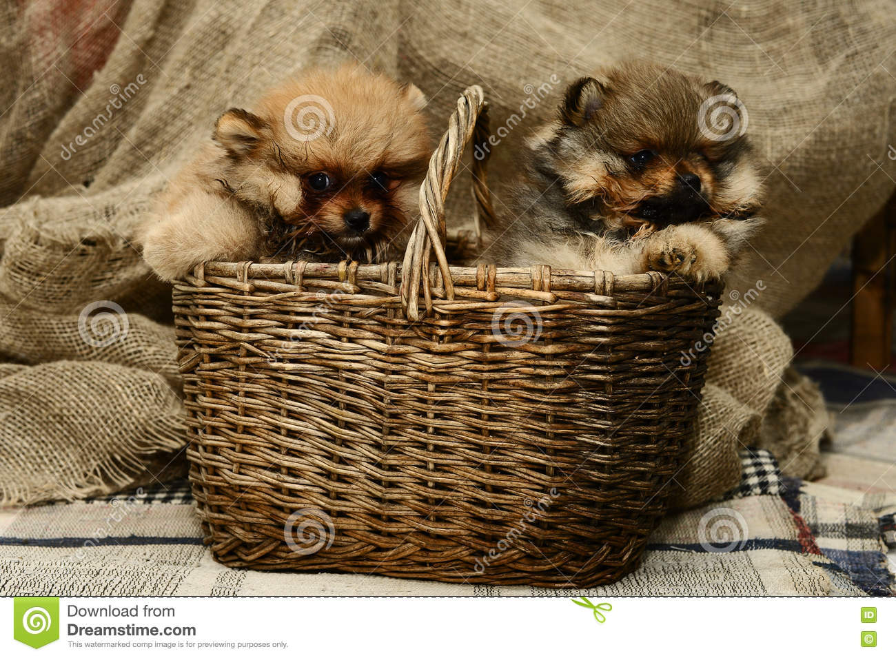 Small Pomeranian puppy sitting in a basket near gray plaid in the Studio