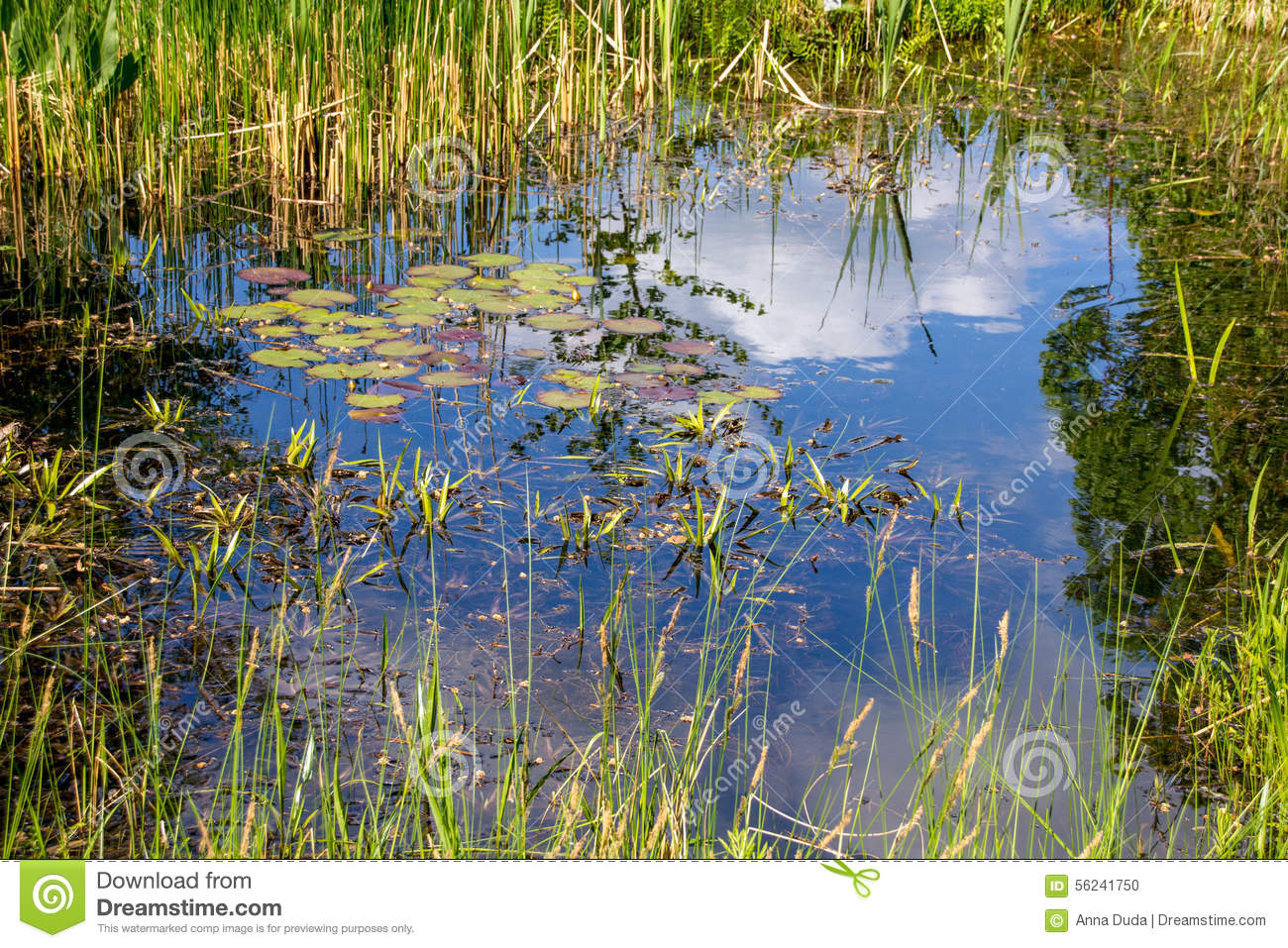 Small pond aquatic plants stock photo image 56241750 for Small garden pond plants