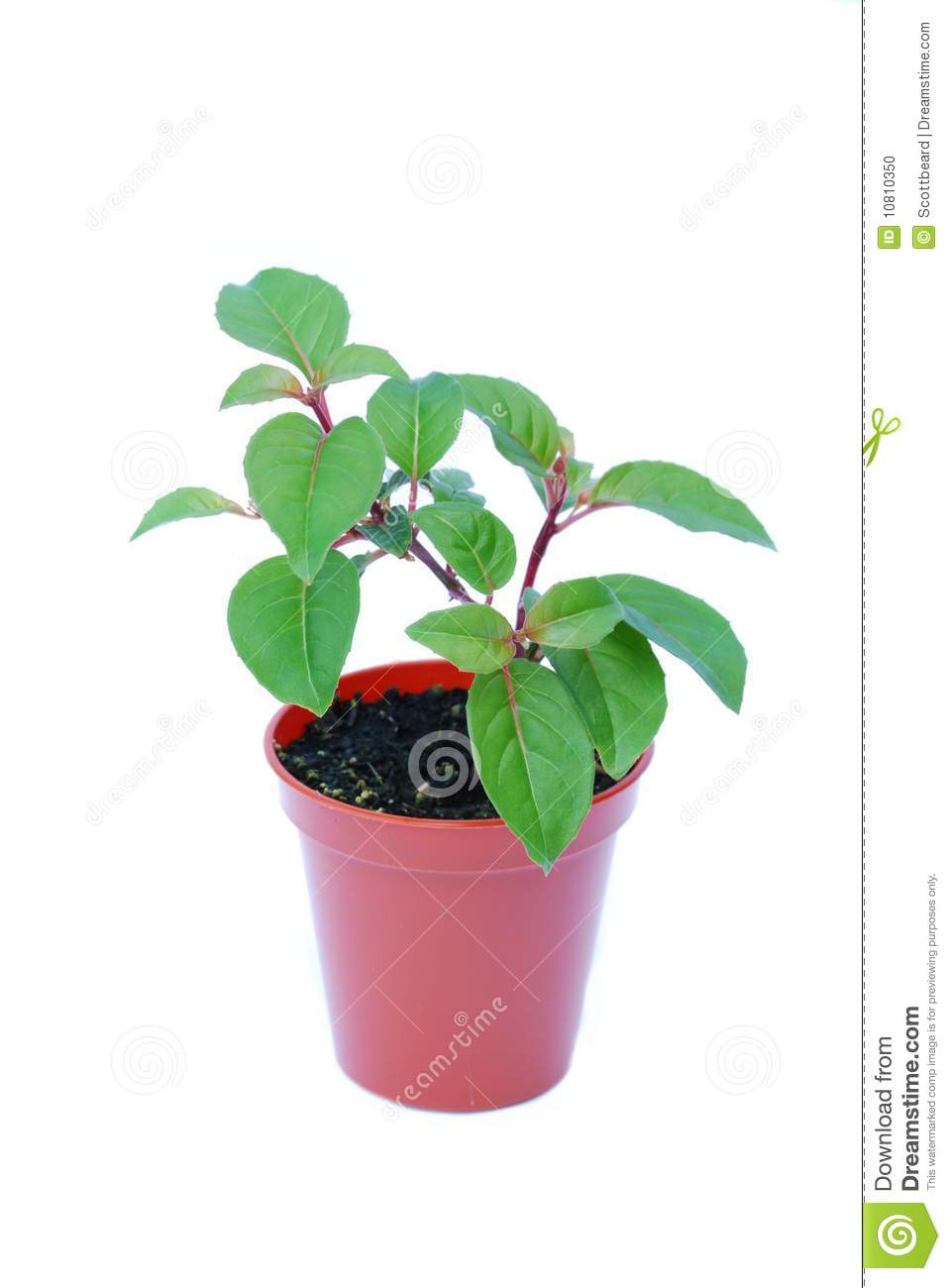 Small Potted Plant Isolated On White Stock Photo Image Of Potted