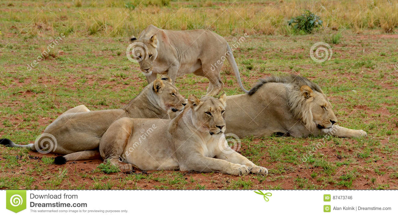 Small pride of lions