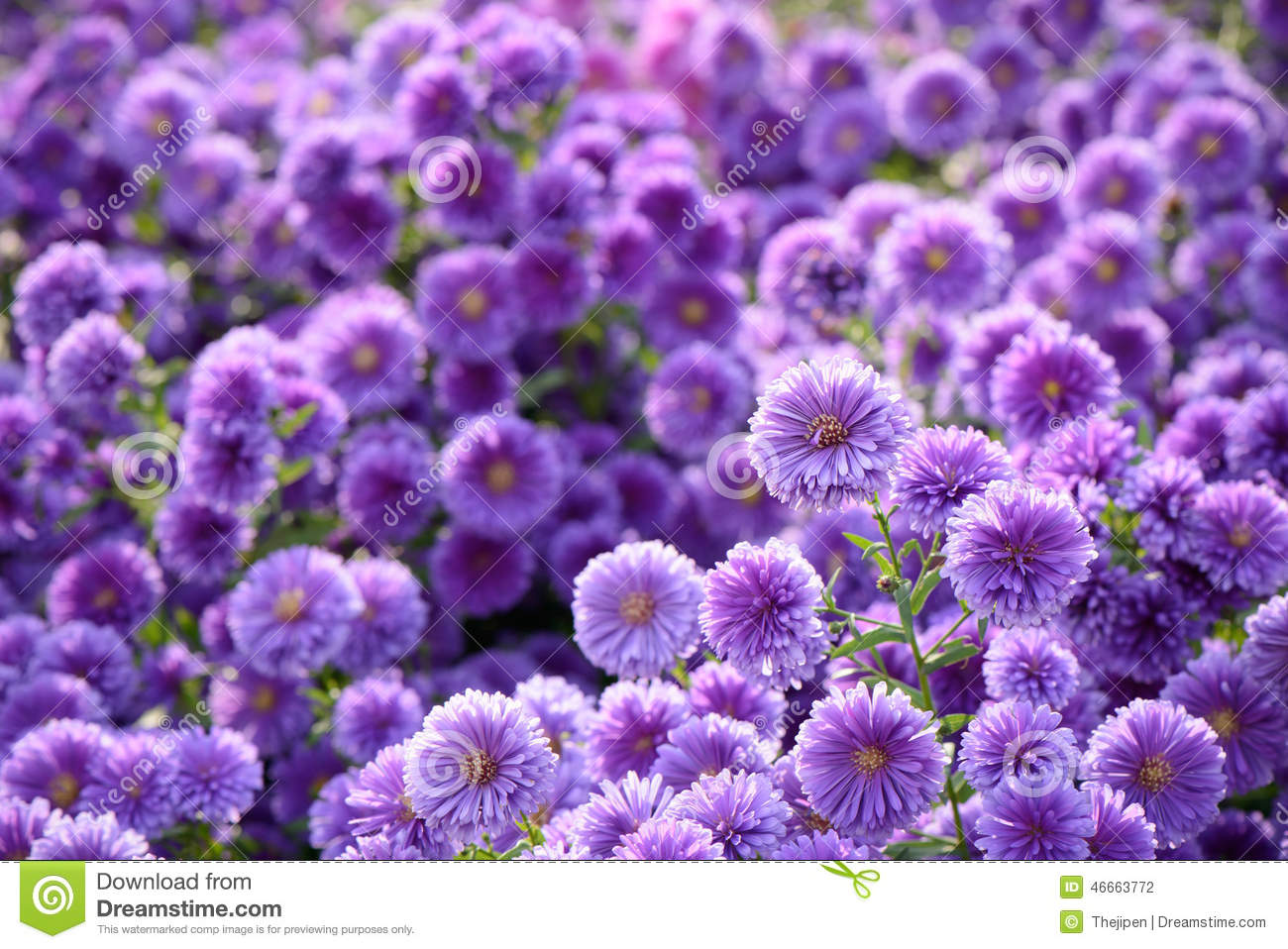 small purple flowers with yellow pollen. stock photo  image, Beautiful flower