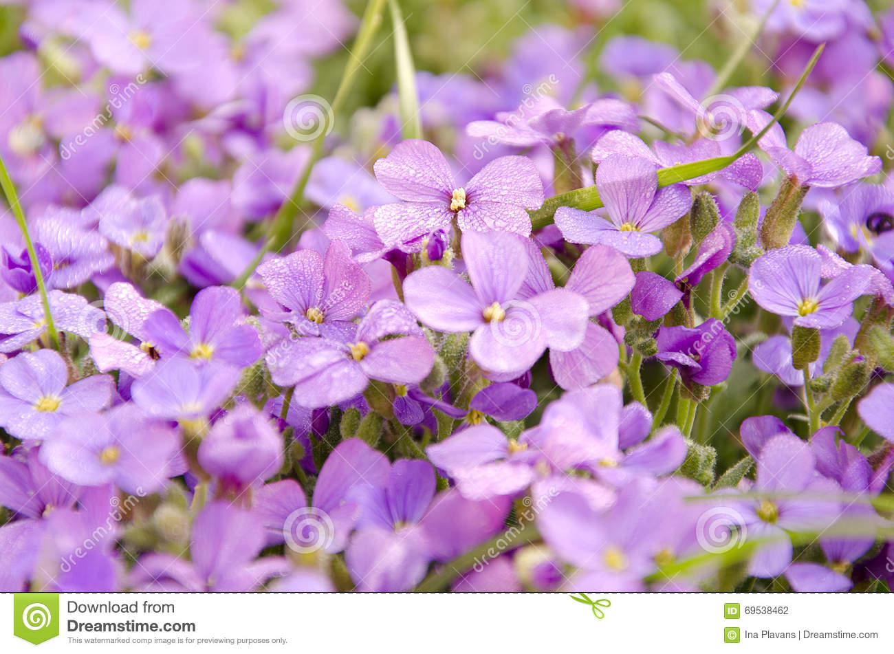small purple flower in the garden. beautiful spring blooming, Beautiful flower