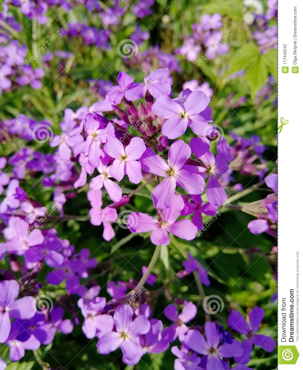 Small Purple Flowers Spring Summer Grows Stock Photo Image Of