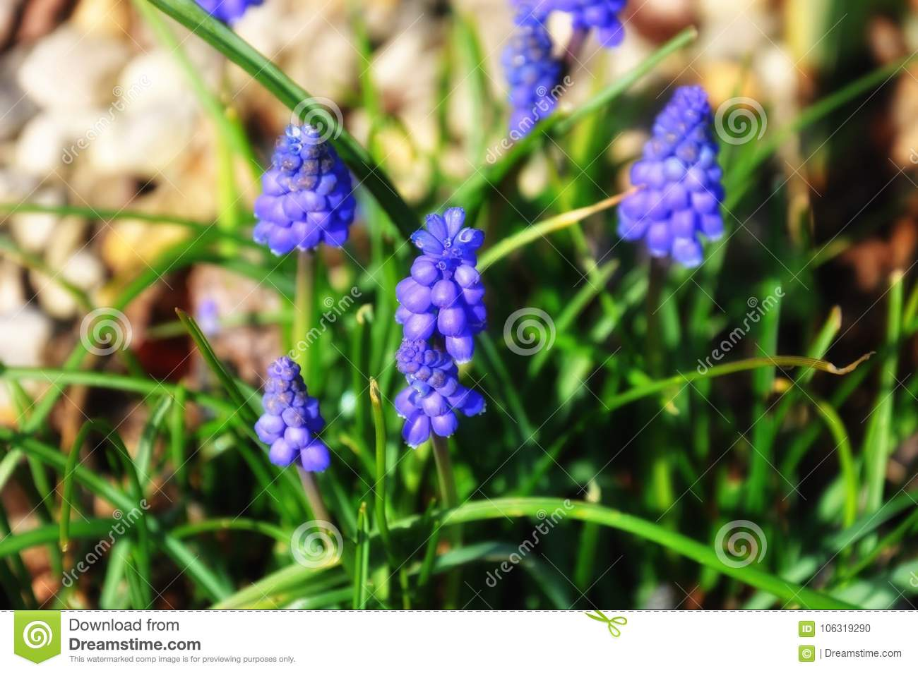 Small Purple Garden Flowers At Beginning Of Spring Stock Photo