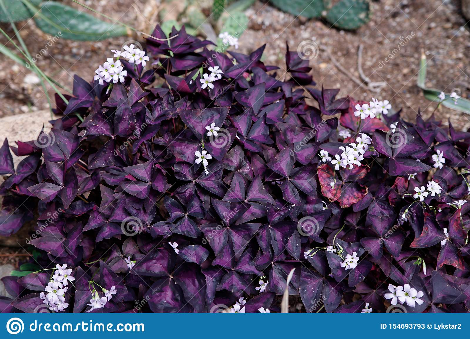 Small Purple Leaves And Pink Flowers Of A Tropical Plant In The