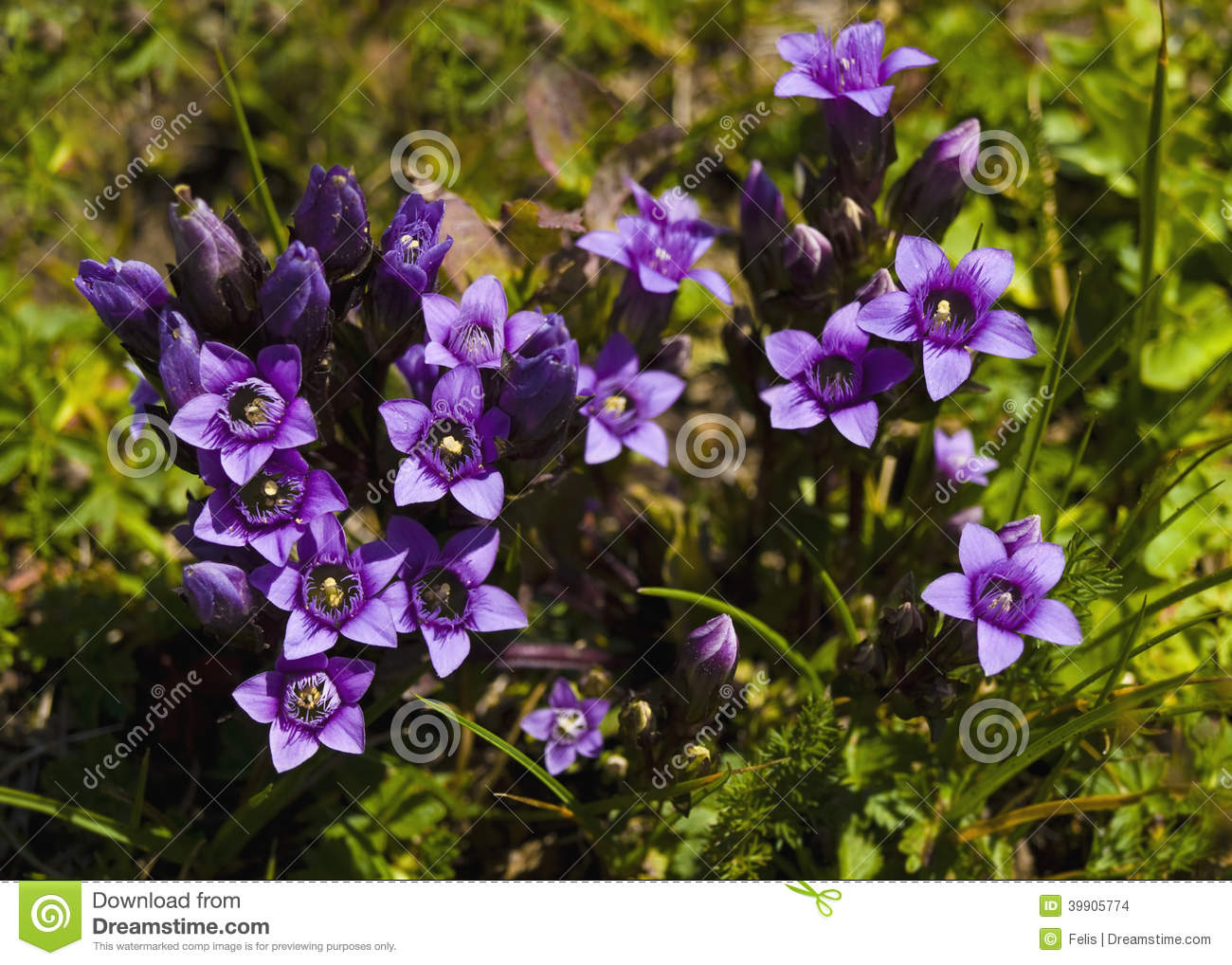Small Purple Mountain Flowers In Spring Stock Photo