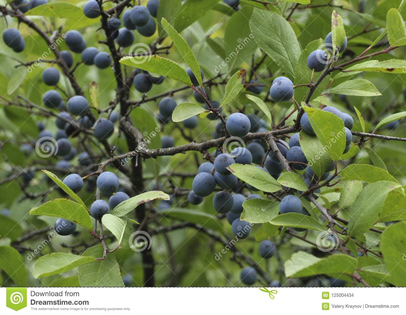 The Small Purple Plums Ripening On A Branch Stock Photo Image