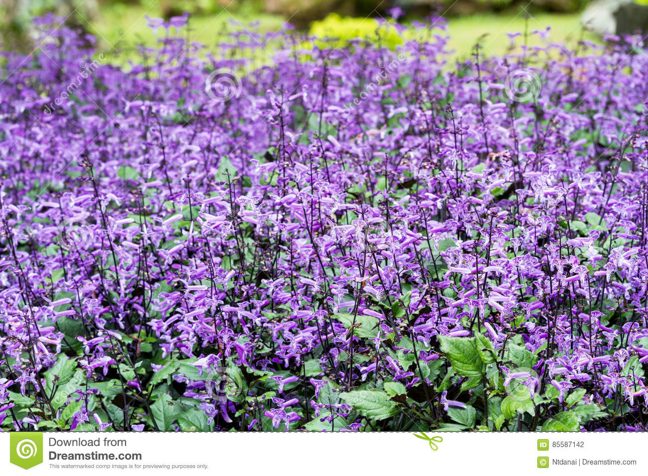 Small Purple And White Flowers Blossom Stock Photo Image Of