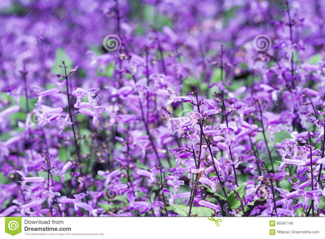 Small Purple And White Flowers Blossom Stock Photo Image Of Small