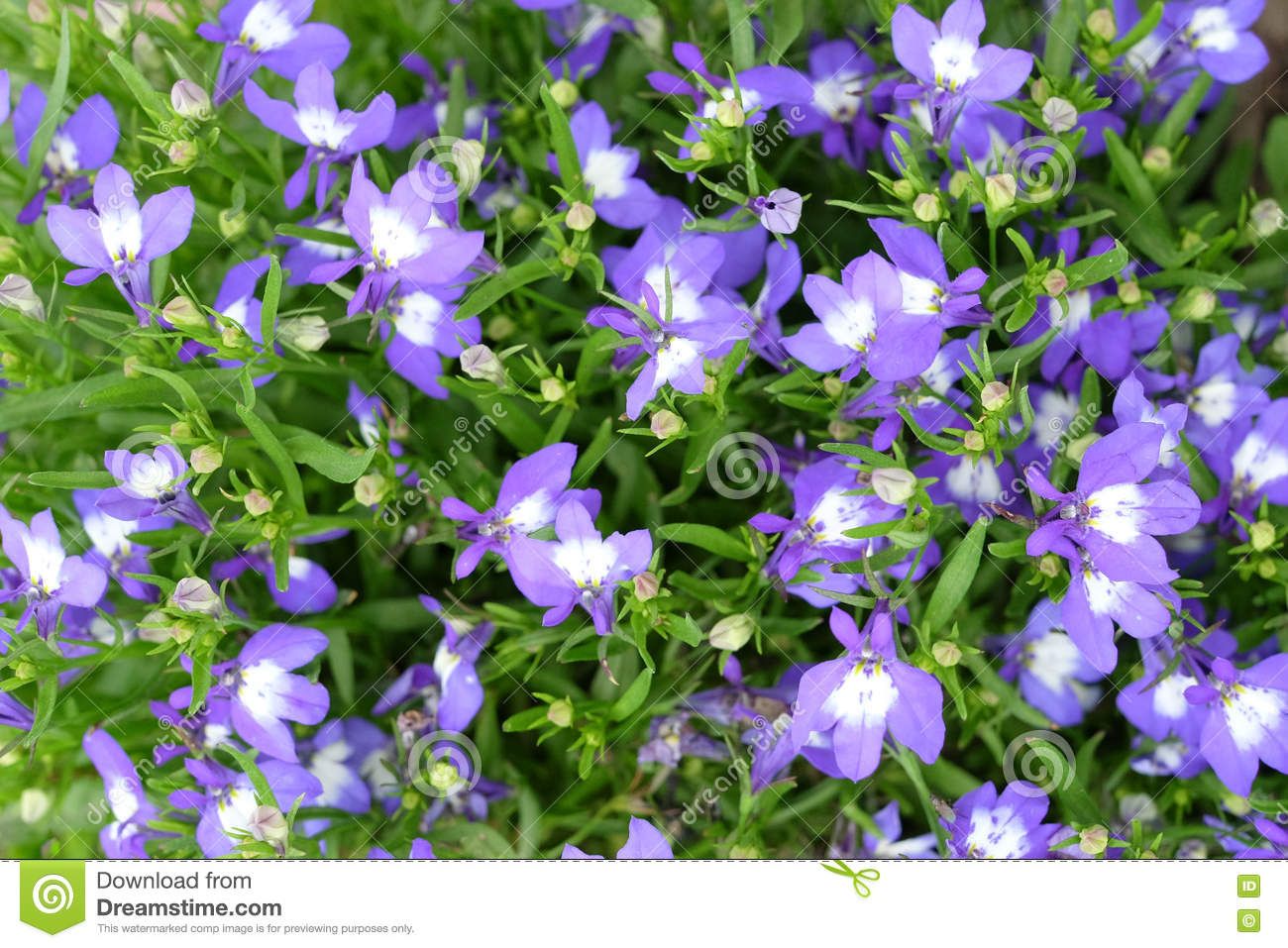 Small Purple White Flowers In Green Grass Stock Image Image Of